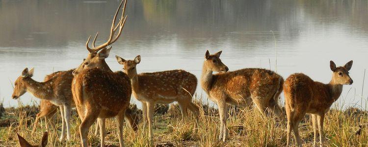 Axishirschen im Bharatpur National Park Rajasthan