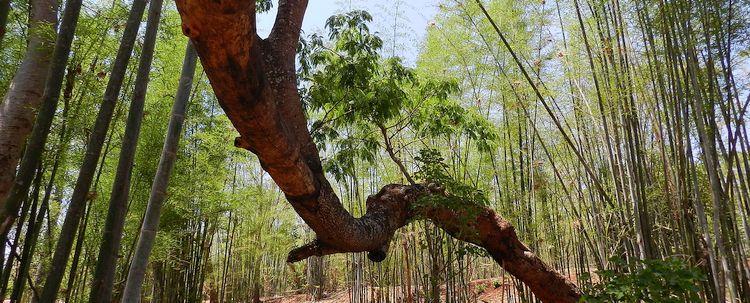 Bambushain Myanmar