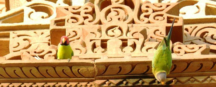 Rosenkopfsittich Khajuraho Madhya Pradesh Indien Reisen