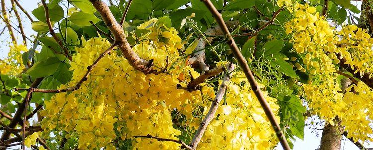 Myanmar Cassia Fistula Staatsblume Kerala Indien