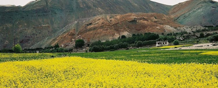 Ladakh Rapsfeld in blüte