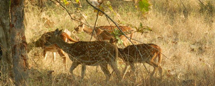 Axishirsch im Panna Nationalpark bei Khajuraho