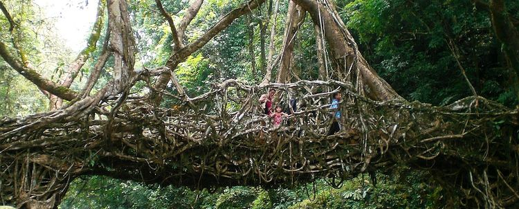 Living Roots Bridge Meghalaya