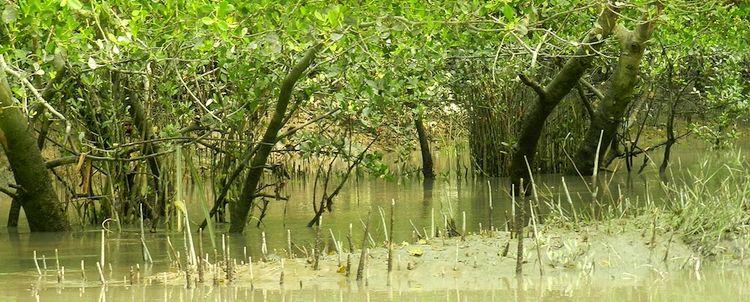 Crab apple mangrove sundarban