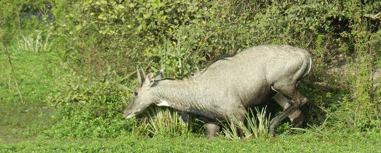 Nilgauantilope Keoladeo Naturschutzgebiet bei Agra