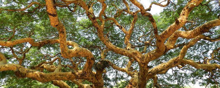 Akazienbaum Burma Myanmar