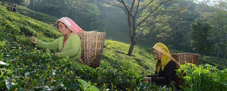 Darjeeling Teepflückerinnen