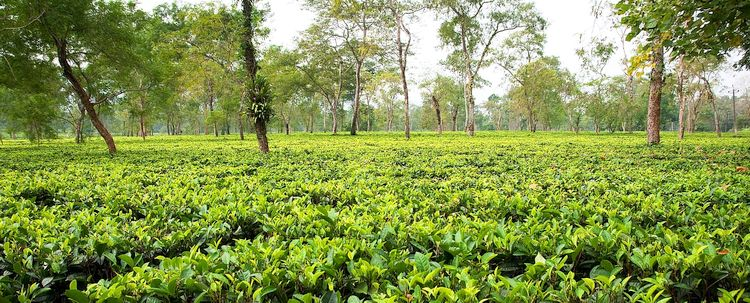 Assam Teegarten