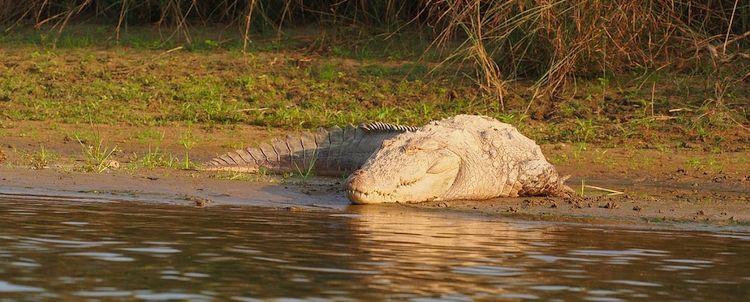 Indisches Krokodil im Chitwan Nationalpark Nepal