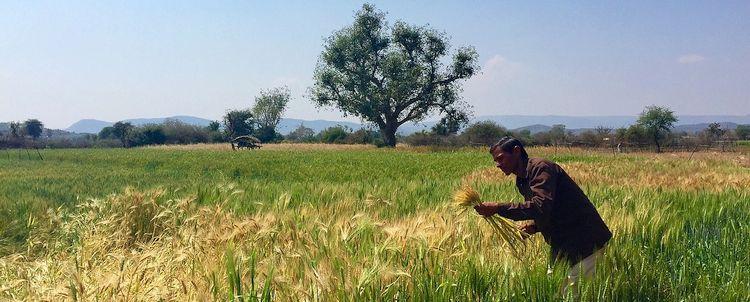 Rajasthan Weizenfeld und Bauer