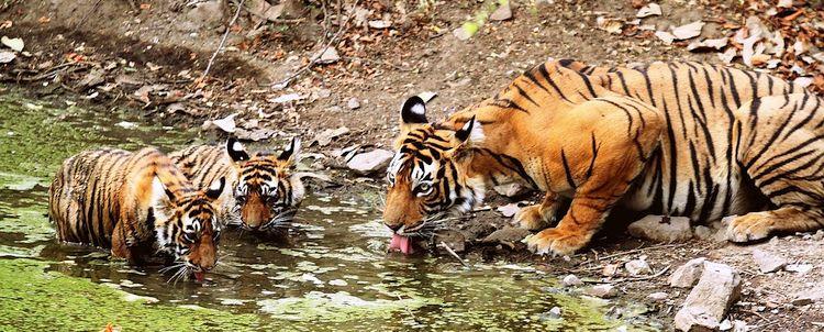 Tigerin trinkt Wasser mit zwei Jungen Ranthambore Nationalpark