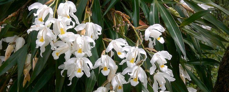 Orchidee Coelogyne cristata Sikkim