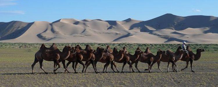 Mongolei Kamel Karawane