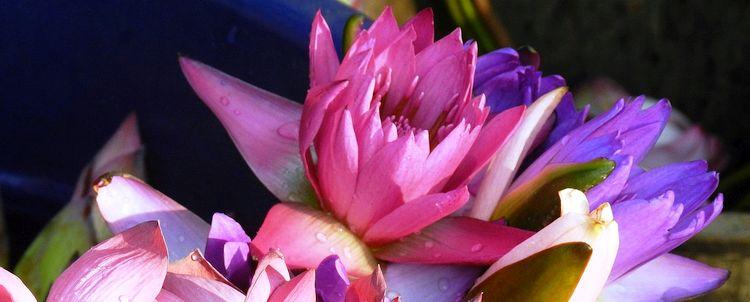 Myanmar Lotus