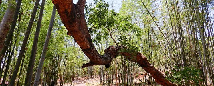 Myanmar Bambushain